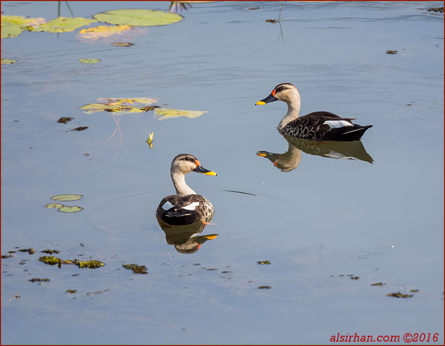 Indian Spot-billed Duck swimming water