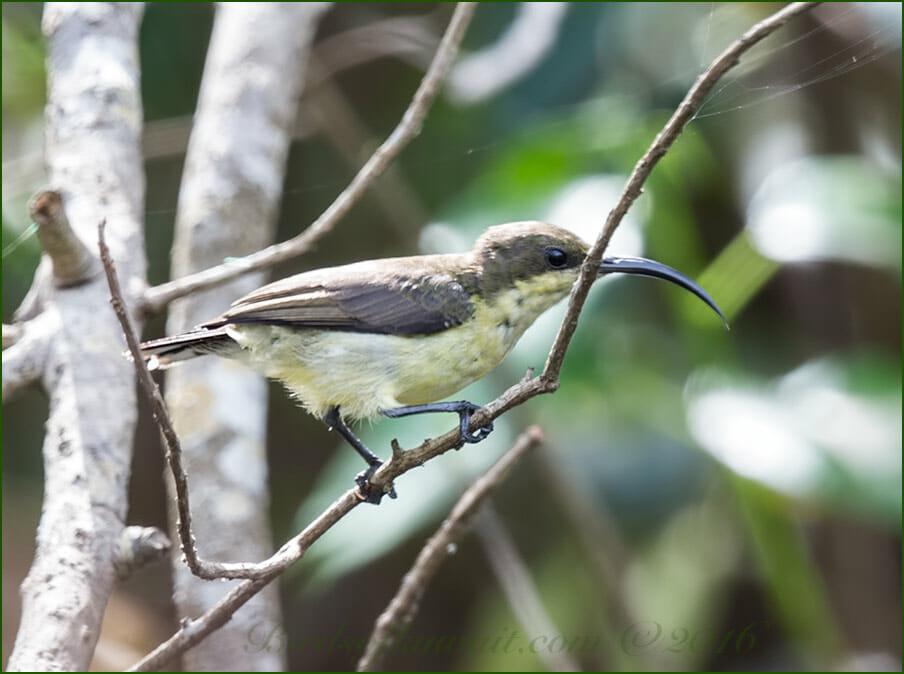 Loten's Sunbird perched on a tree