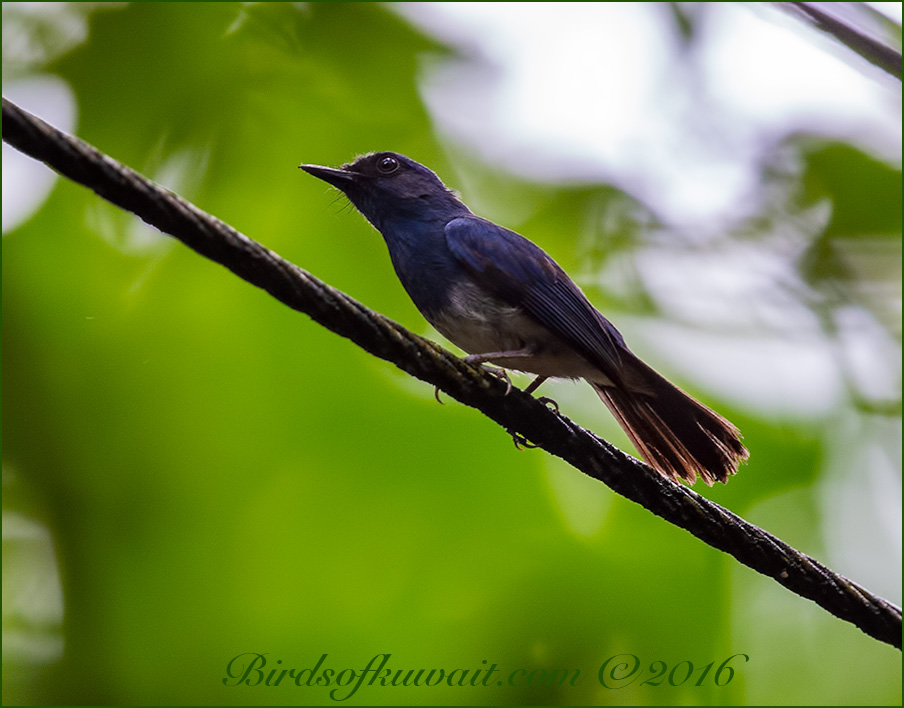 White-bellied Blue Robin perching on a branch of a tree