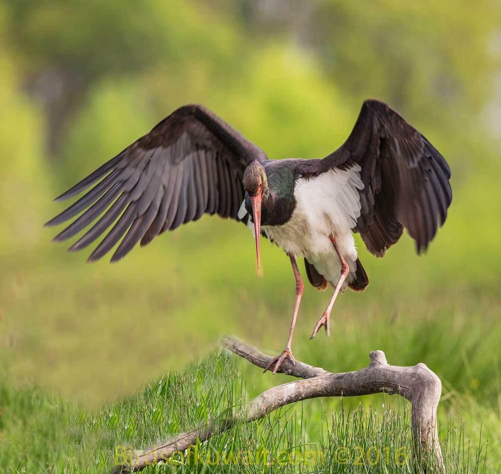Black Stork landing on a branch