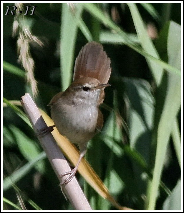 Eastern Cetti's Warbler on a reedbed
