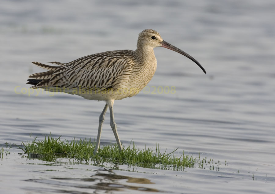 Eurasian Curlew in water