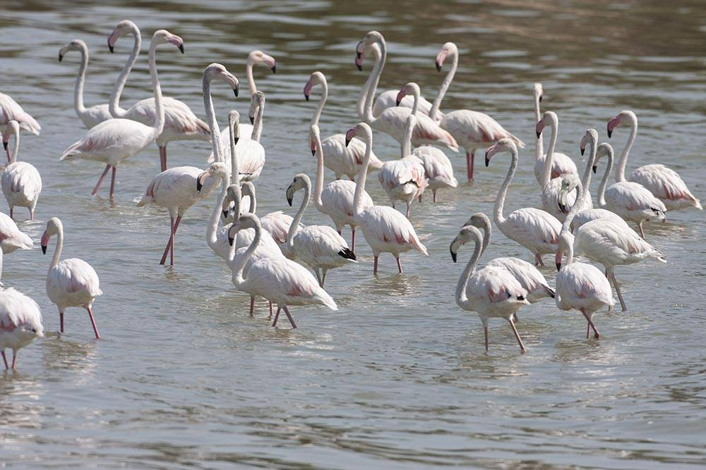 A flock of Greater Flamingos feeding in water