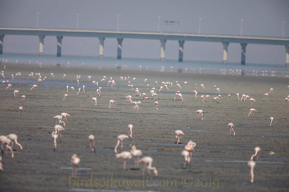 A big flock of Greater Flamingo feeding at low tide on a muddy coast