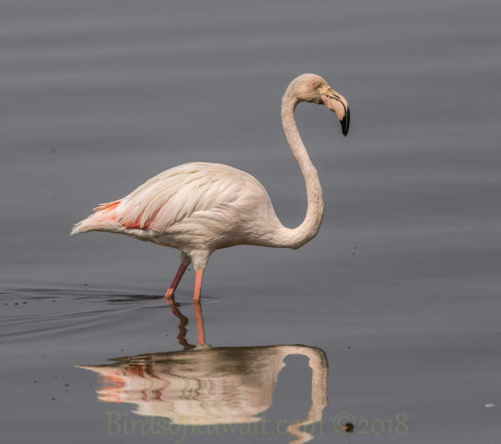 A Greater Flamingo feeding in water