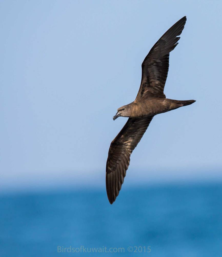 Jouanin's Petrel in flight