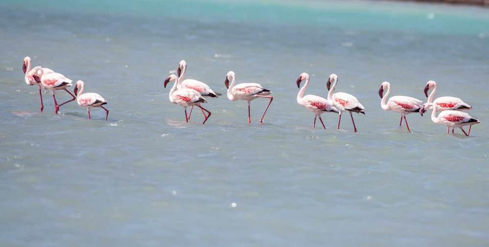11 Lesser Flamingos standing in sea water