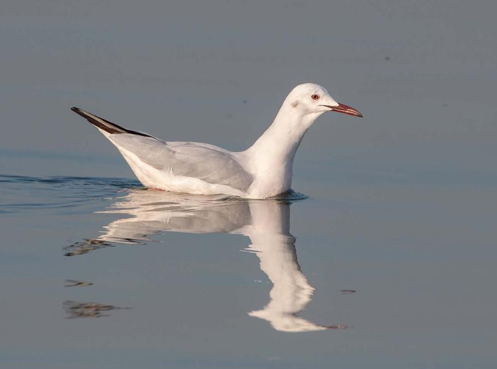 Slender-billed Gull swimming in sea water