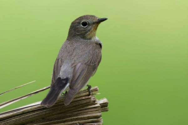 Taiga Flycatcher perching on a branch