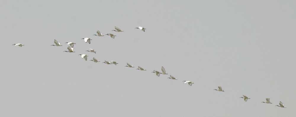 24 African Sacred Ibises in flight