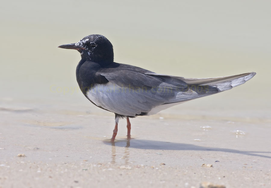 White-winged Tern standing in water