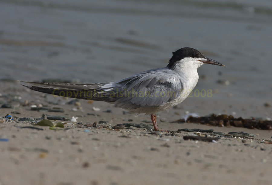Common Tern standing on the ground