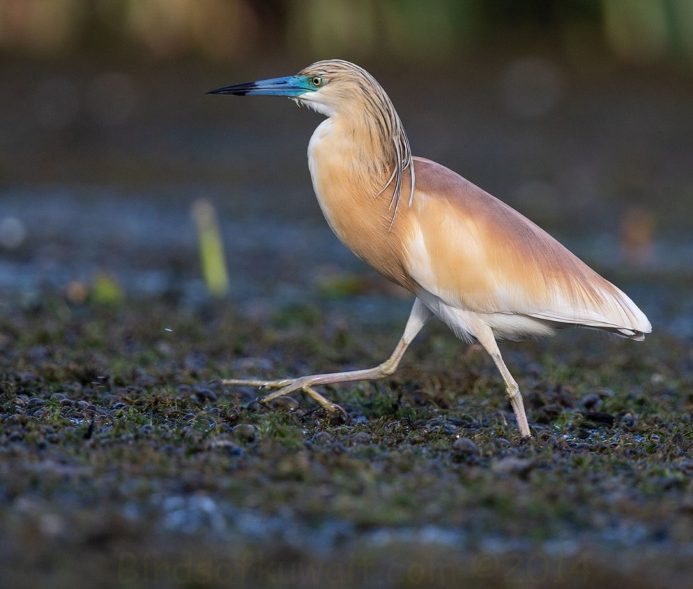 Squacco Heron Ardeola ralloides running on the ground