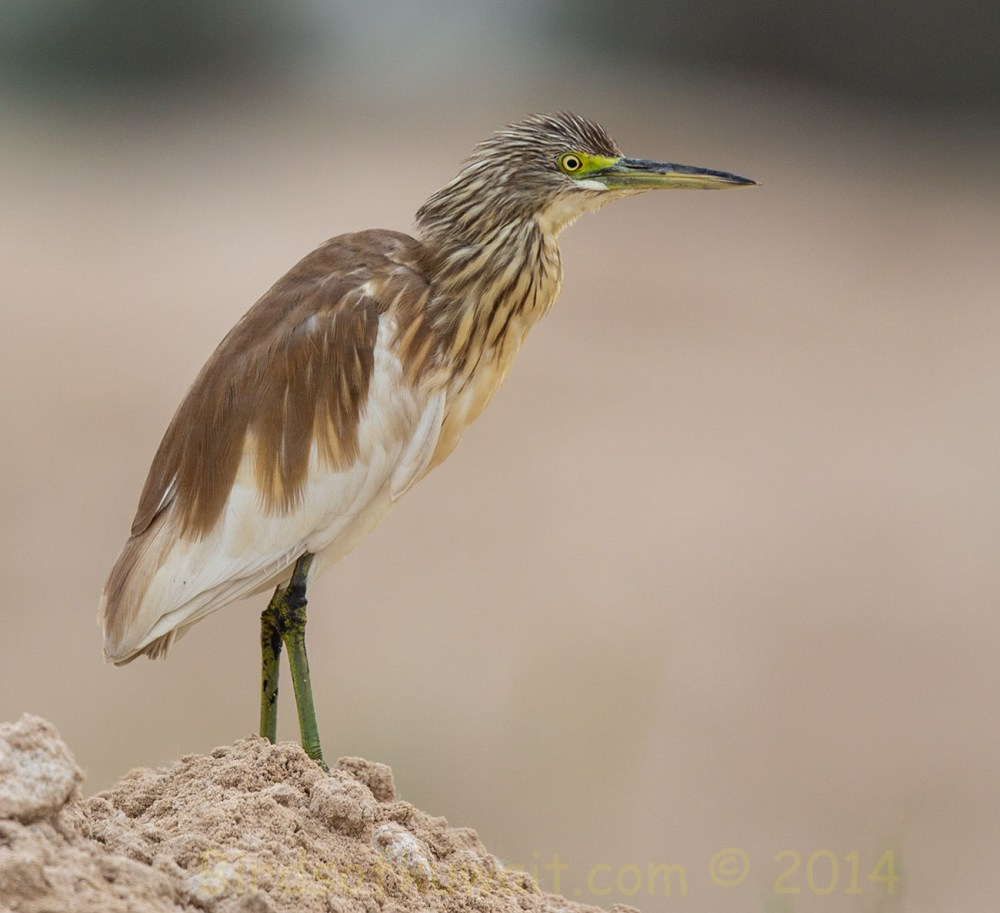 Squacco Heron standing on a mound