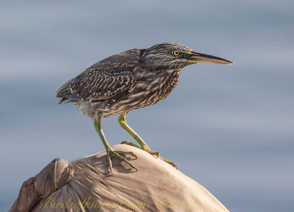 Striated Heron standing on a boat