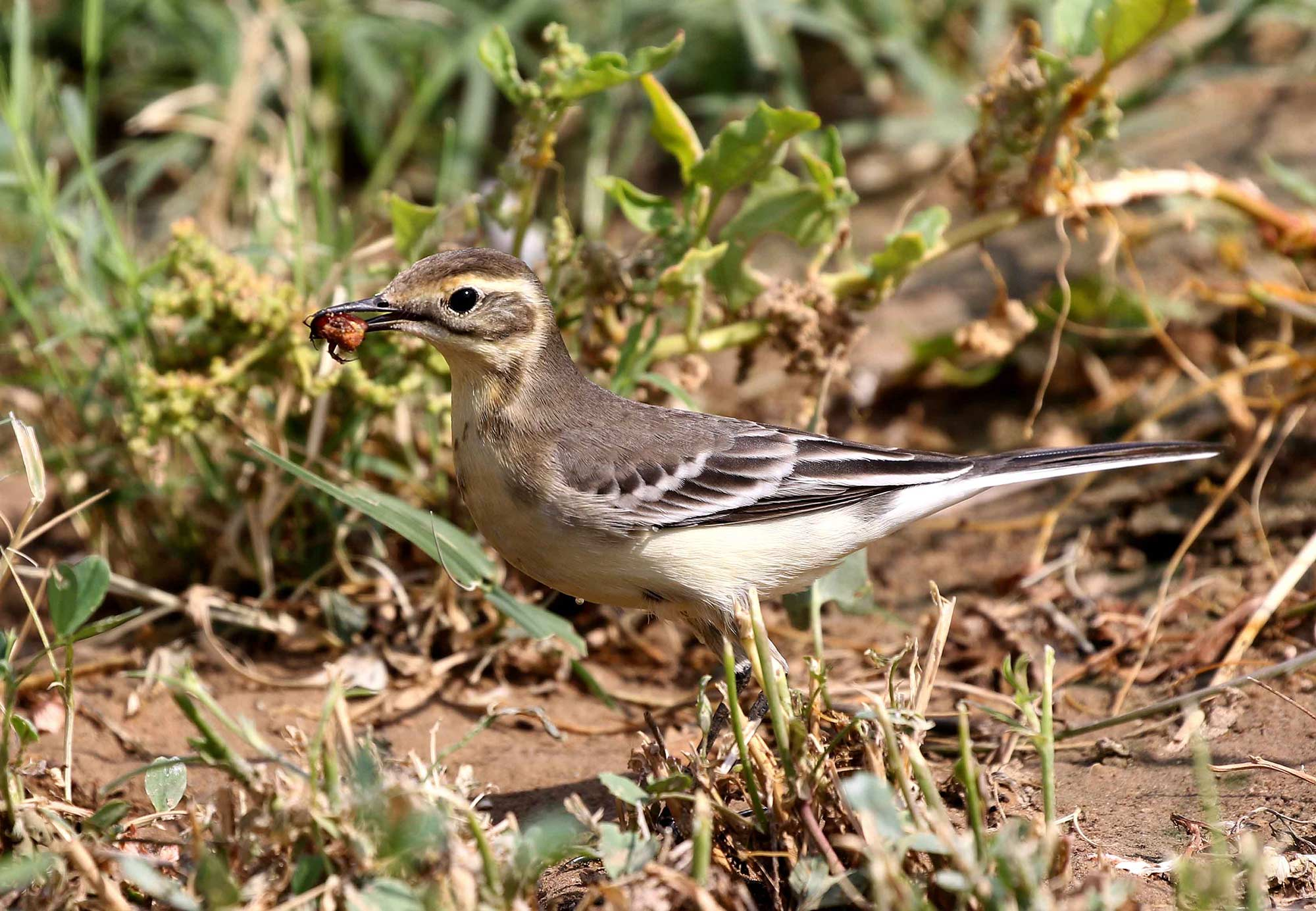 A Citrine Wagtail with a beetle between it beak