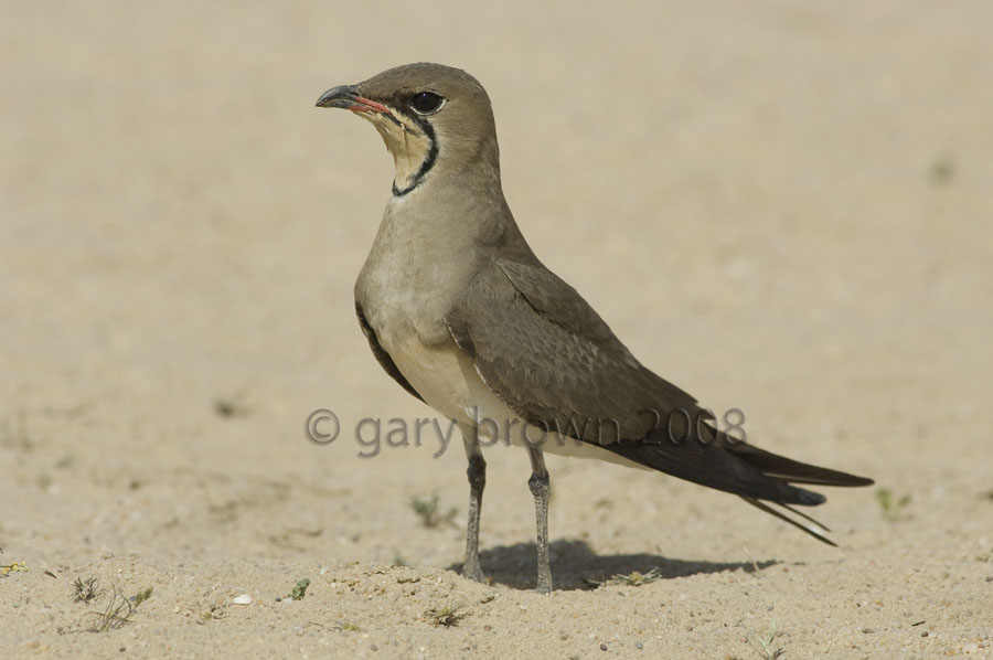 Collared Pratincole on desert sand