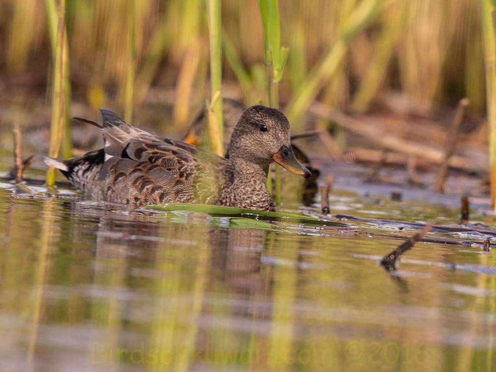 Gadwall Anas strepera swimming in a pool