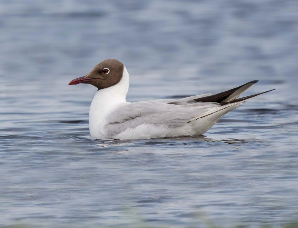 Common Black-headed Gull Chroicocephalus ridibundus