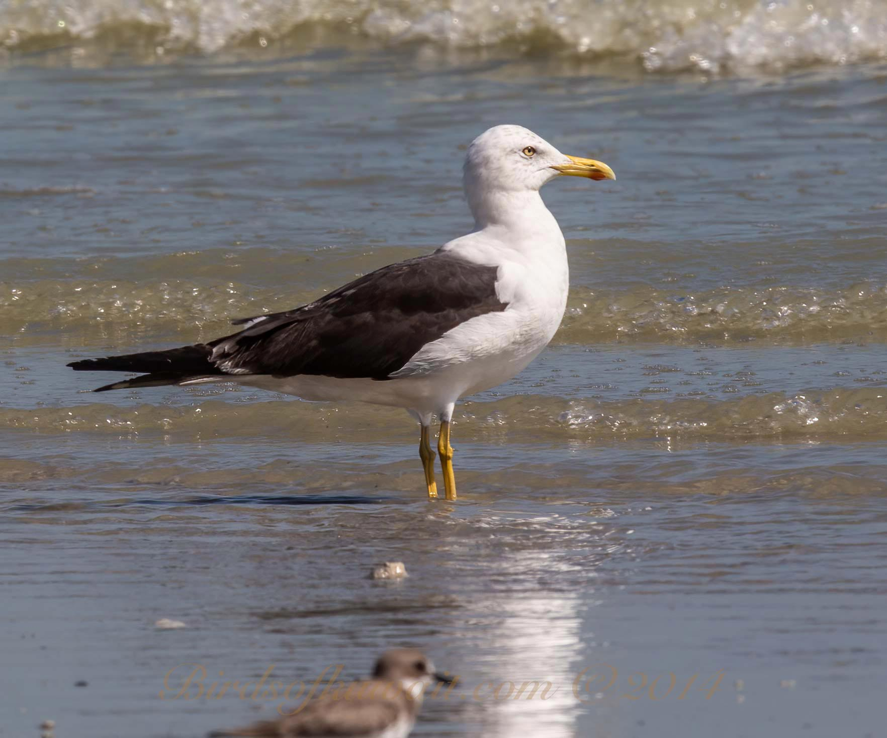Lesser Black-backed Gull Larus fuscus perching on shallow see water