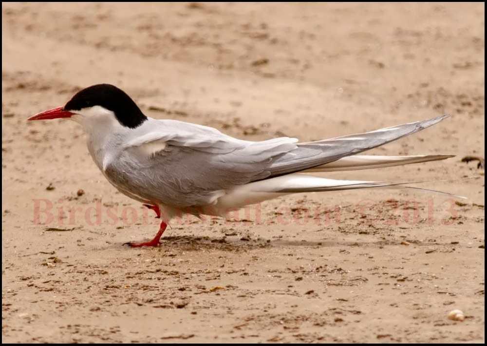 Arctic Tern sitting on ground