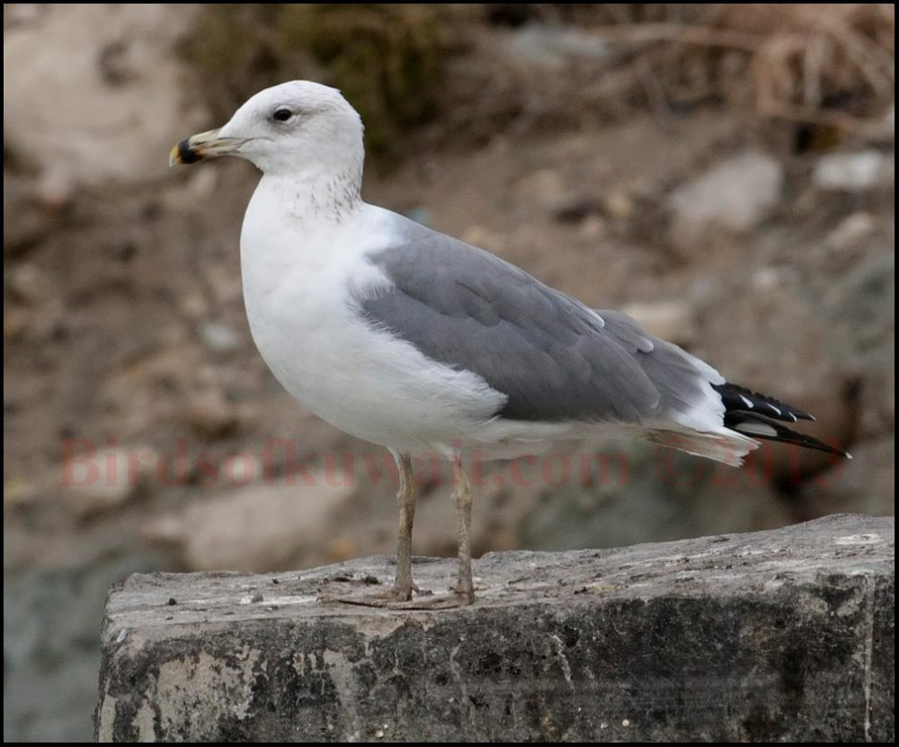 Armenian Gull perching on a rock