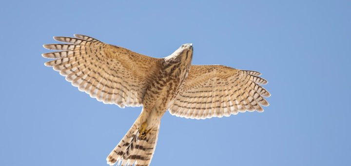 Asian Shikra in flight from below