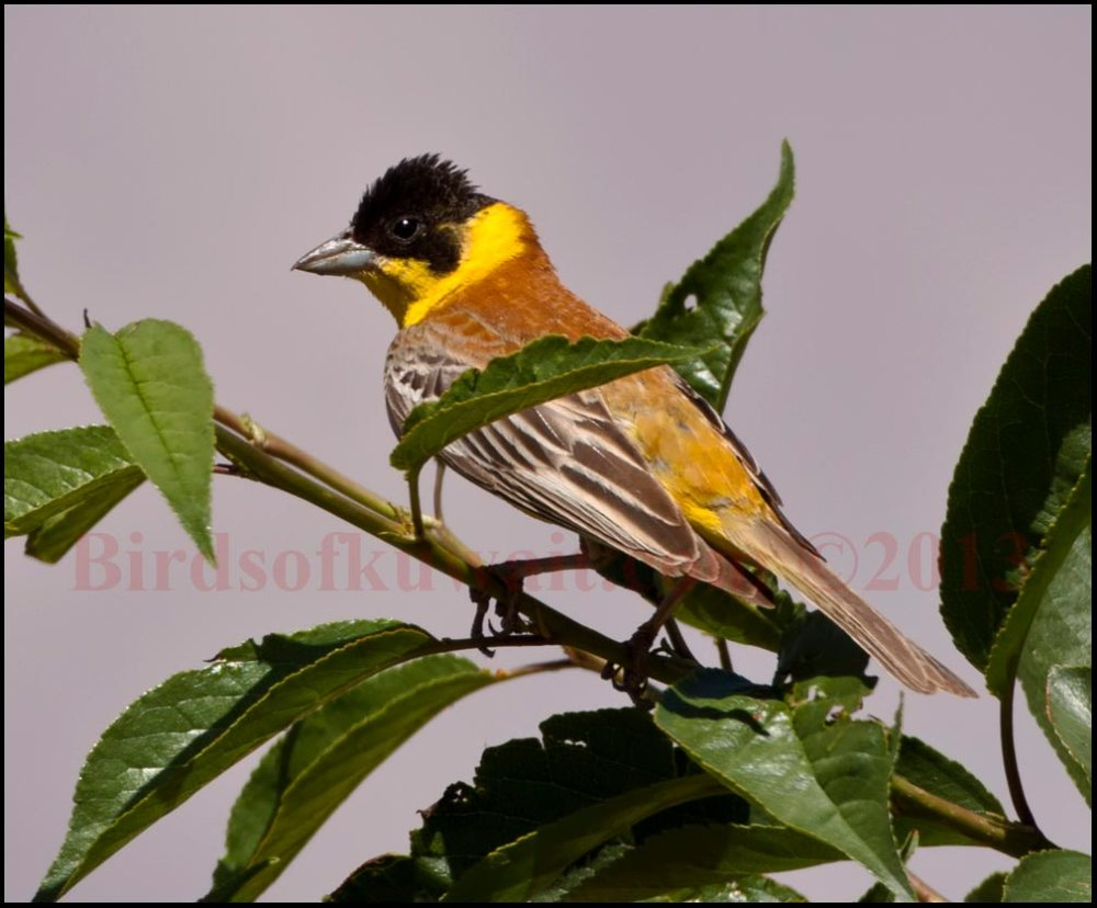 Black-headed Bunting perching on a branch