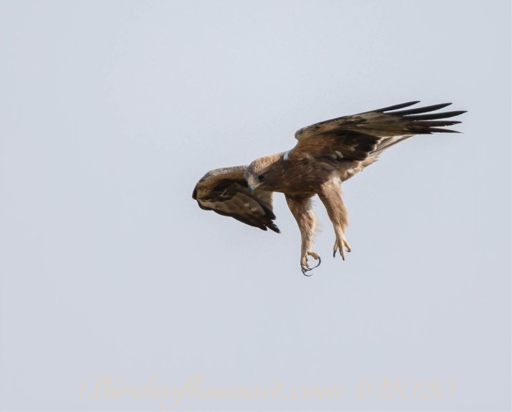 Booted Eagle in flight stooping to the ground