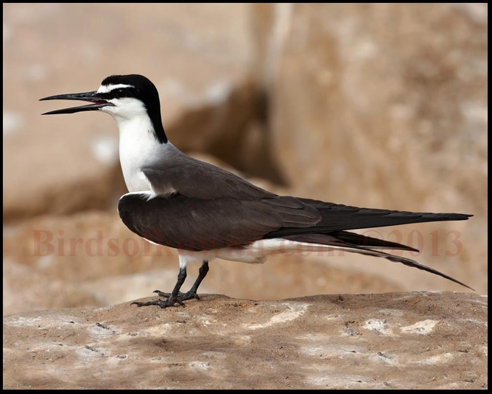 Bridled Tern perching on a rock