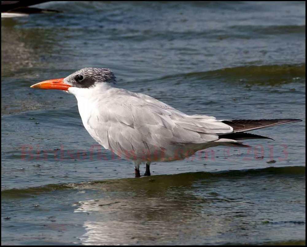 Caspian Tern standing in sea water