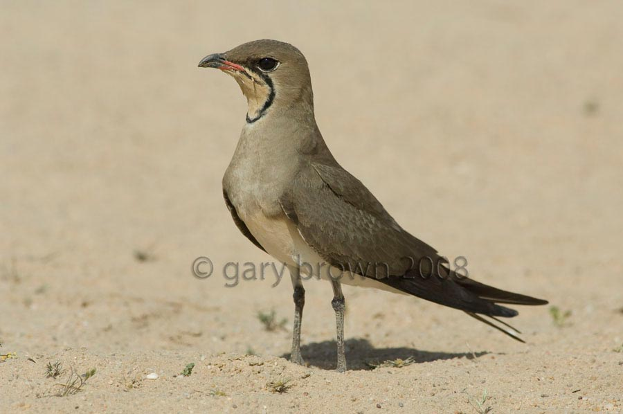 Collared Pratincole standing on sand