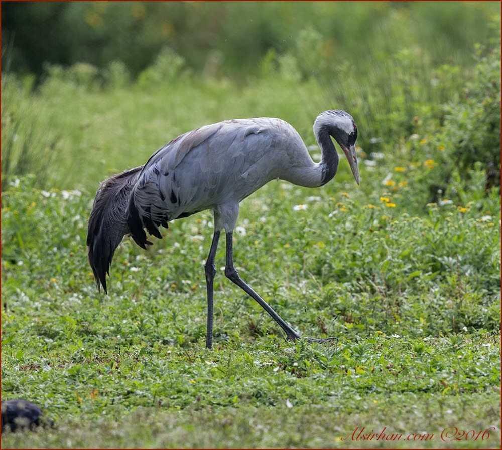 Common Crane is feeding on the ground