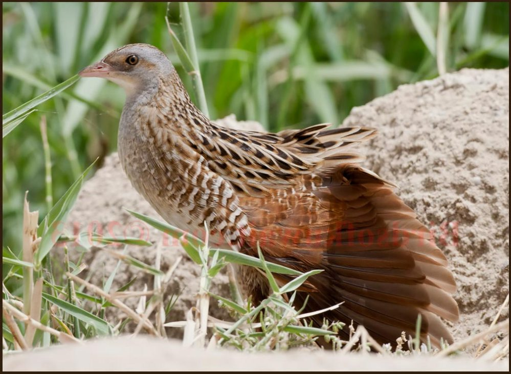 Corncrake perching on ground and streaching its wings
