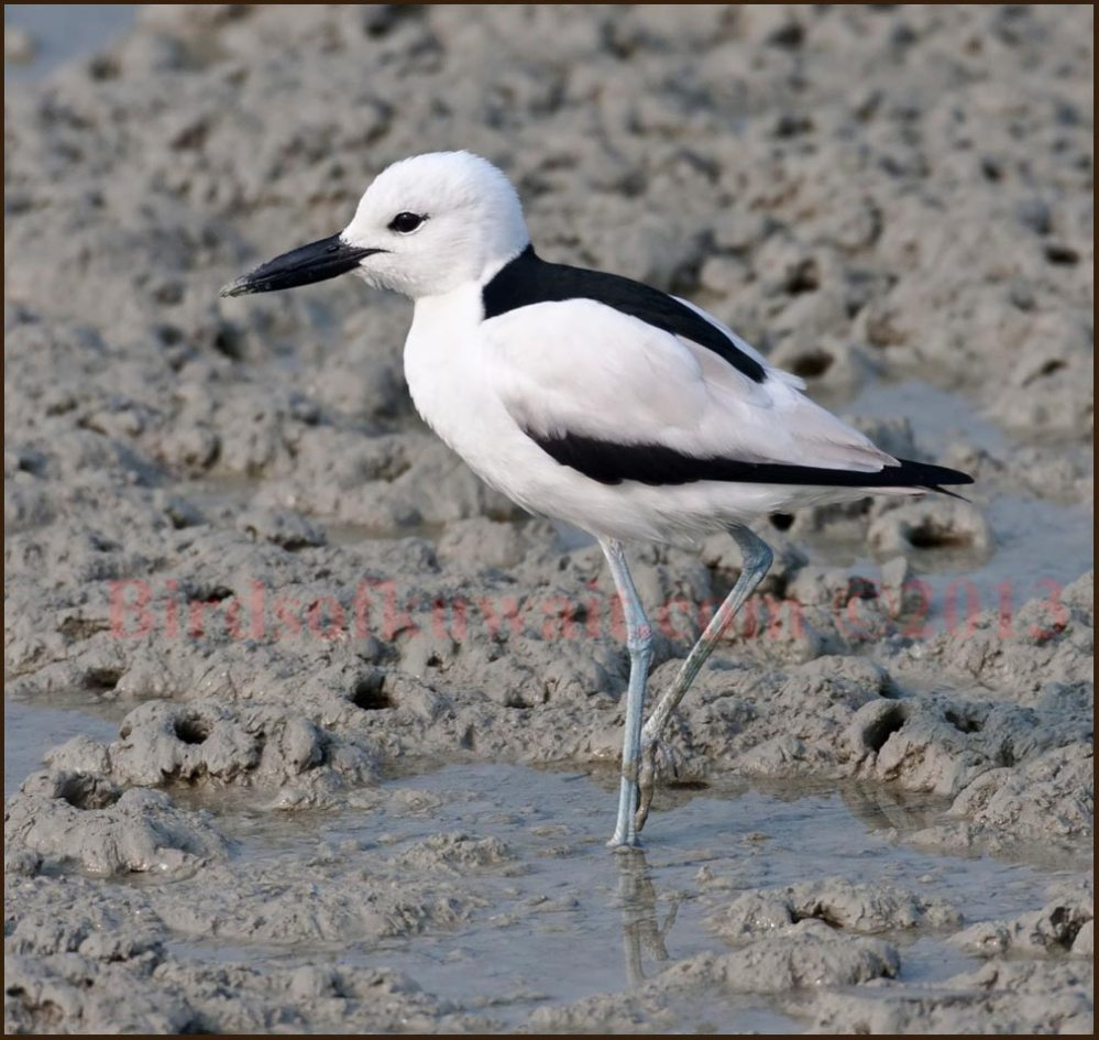 Crab-plover standing in shallow sea water