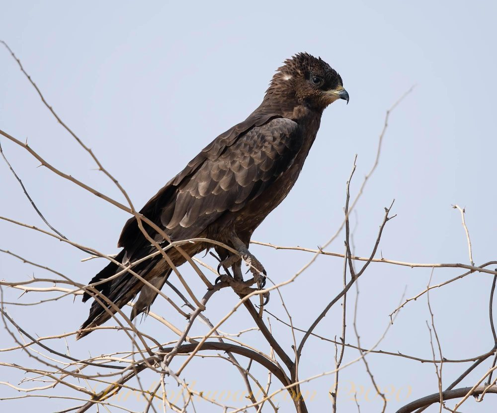 Crested Honey Buzzard perching on dead branches of prosopis juliflora tree