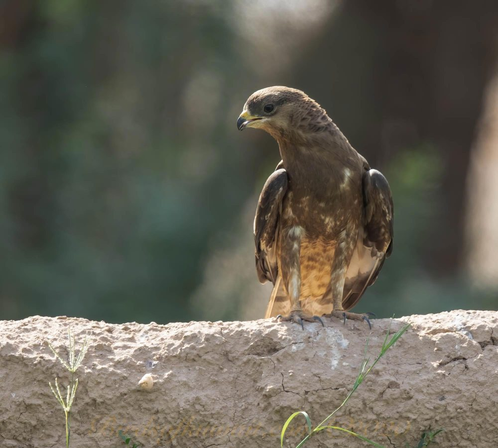 Crested Honey Buzzard perching on mud wall