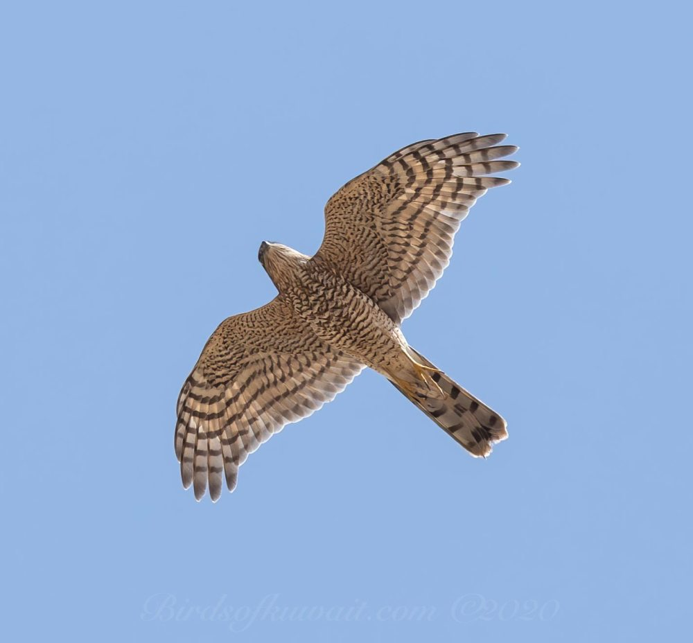 Eurasian Sparrowhawk in flight from below