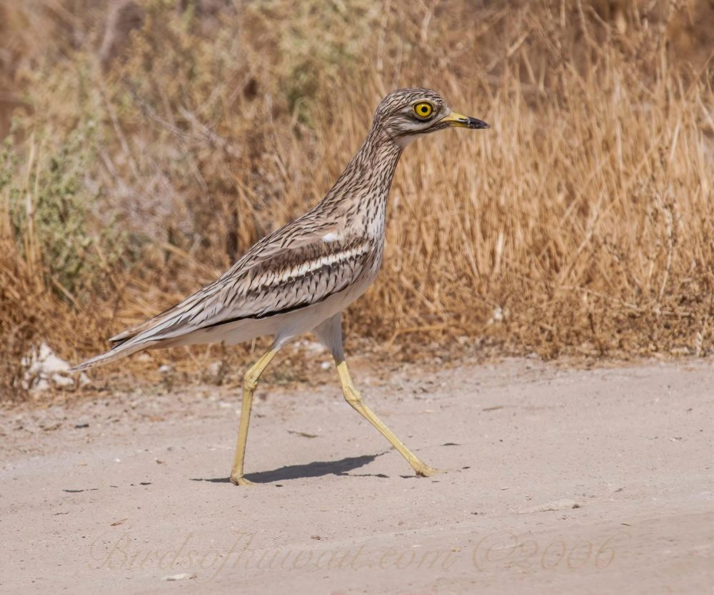 Eurasian Stone-curlew is running on sandy track by a dry grass