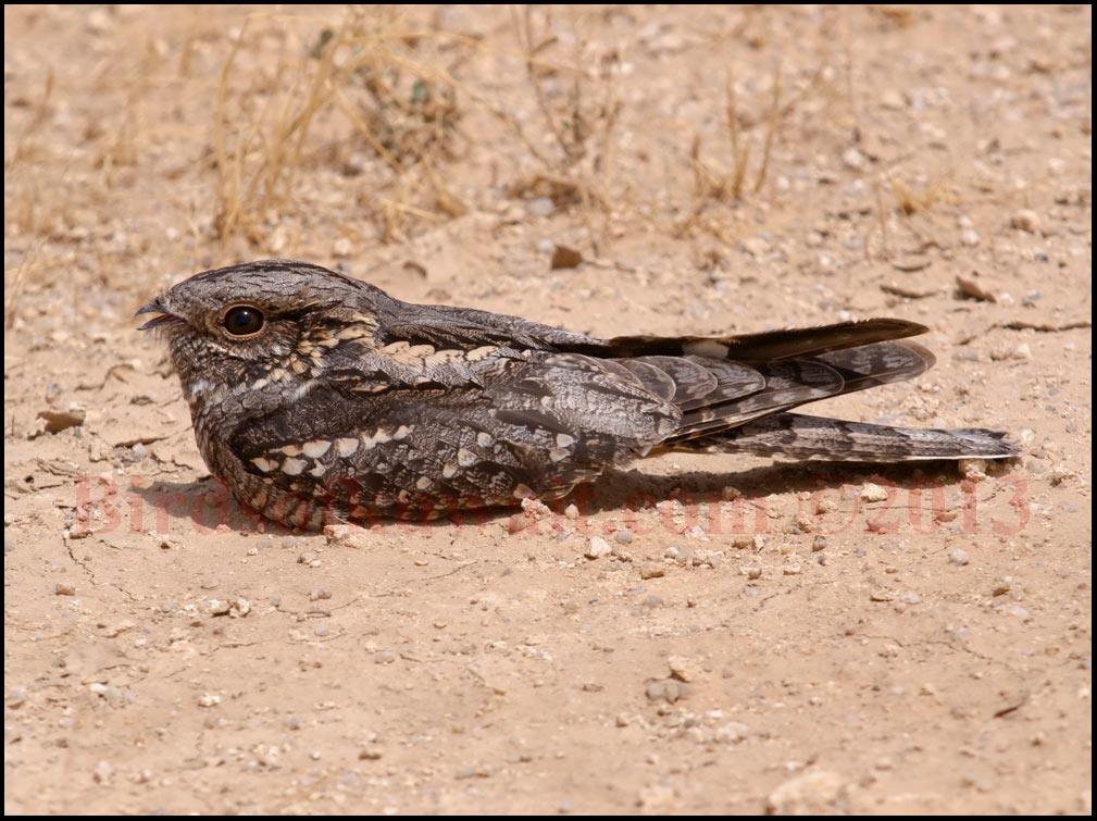 European Nightjar perching on ground in day time