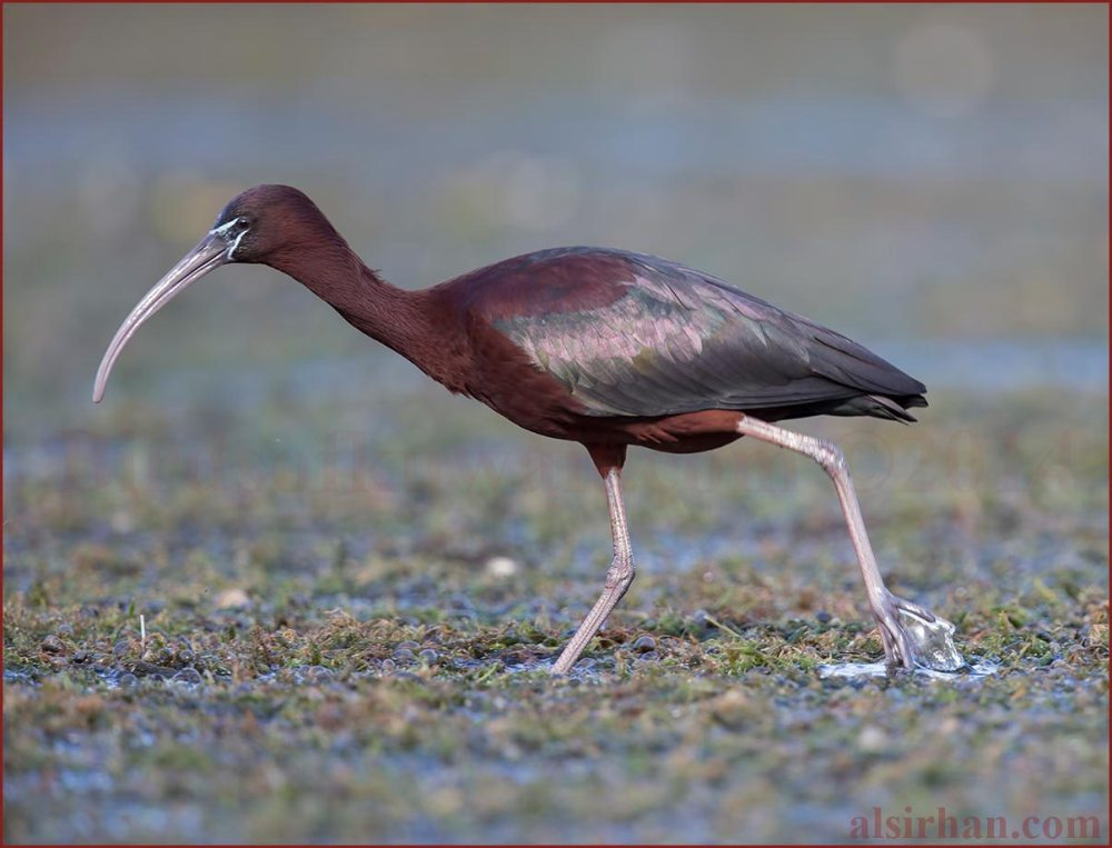 Glossy Ibis walking on floating plants