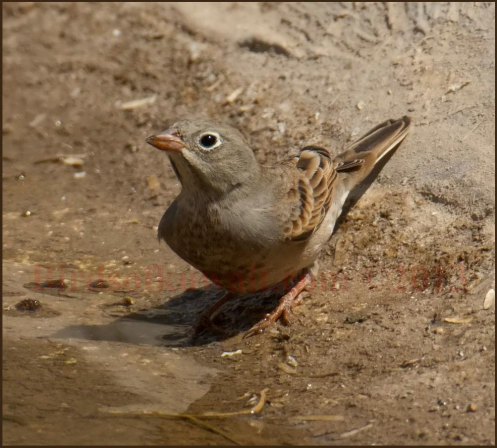 Grey-necked Bunting drinking water from a pool