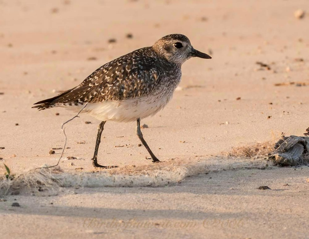 Grey Plover is standing on a sandy beach