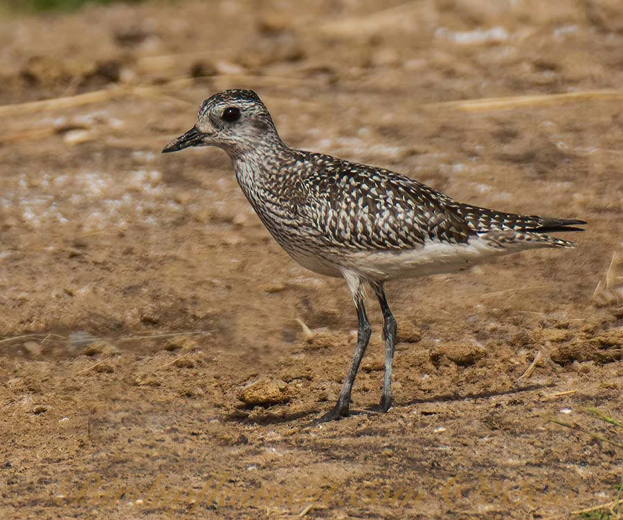 A young Grey Plover is standing alert