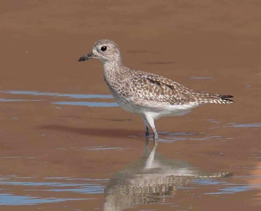 A Grey Plover standing in water