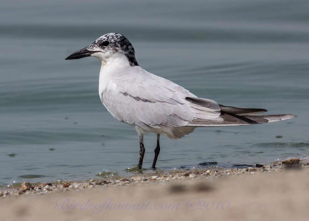 Gull-billed Tern standing in water
