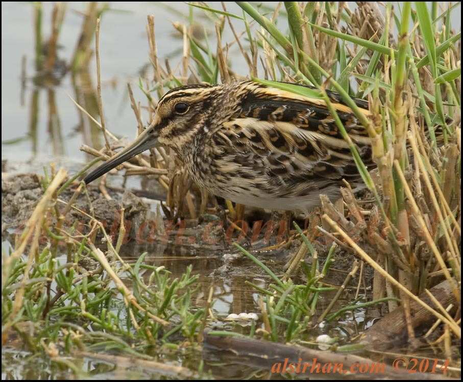 Jack Snipe hiding on wet ground between reed twigs