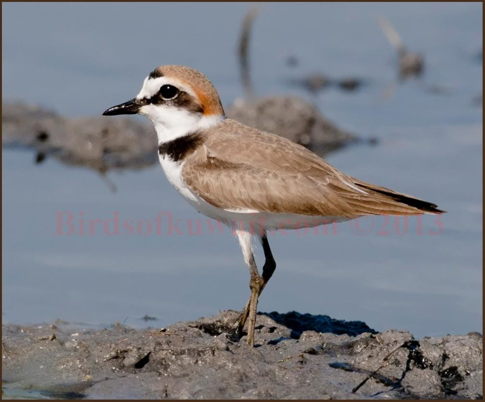Kentish Plover standing near sea water