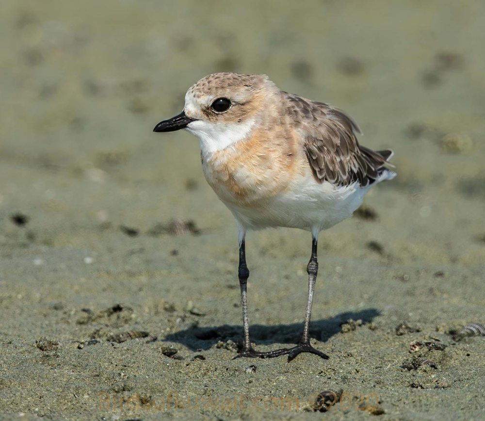 Lesser Sand Plover standing on sea shore sand