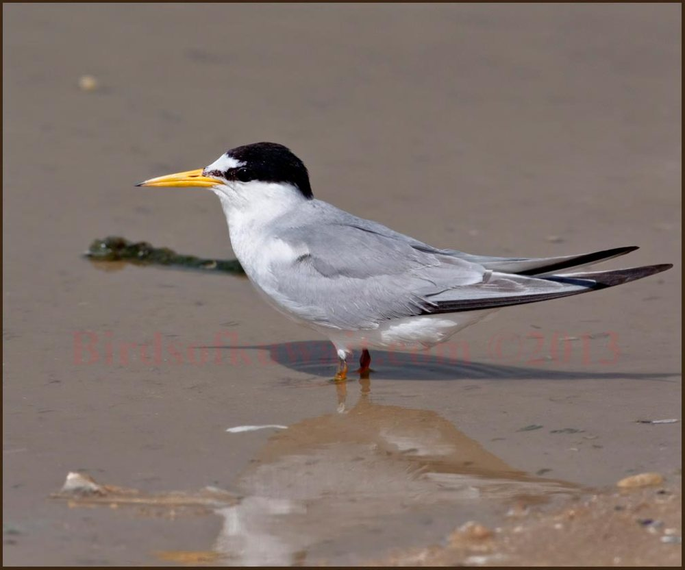 Little Tern standing in shallow sea water